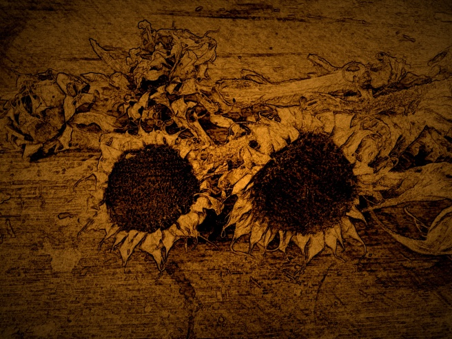 Dried sunflowers, Hilmi Baskurt, pencil, charcoal, shellac and ink, 2016